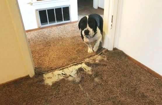 Carpet Pet-Damage Repair